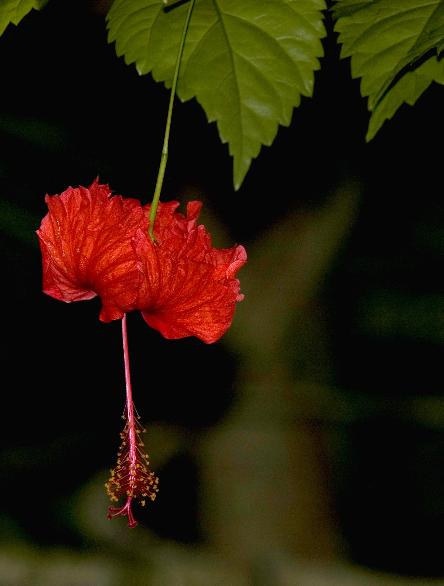 Hibiscus flower 2253 stockarch free stock photos accept license and download image izmirmasajfo