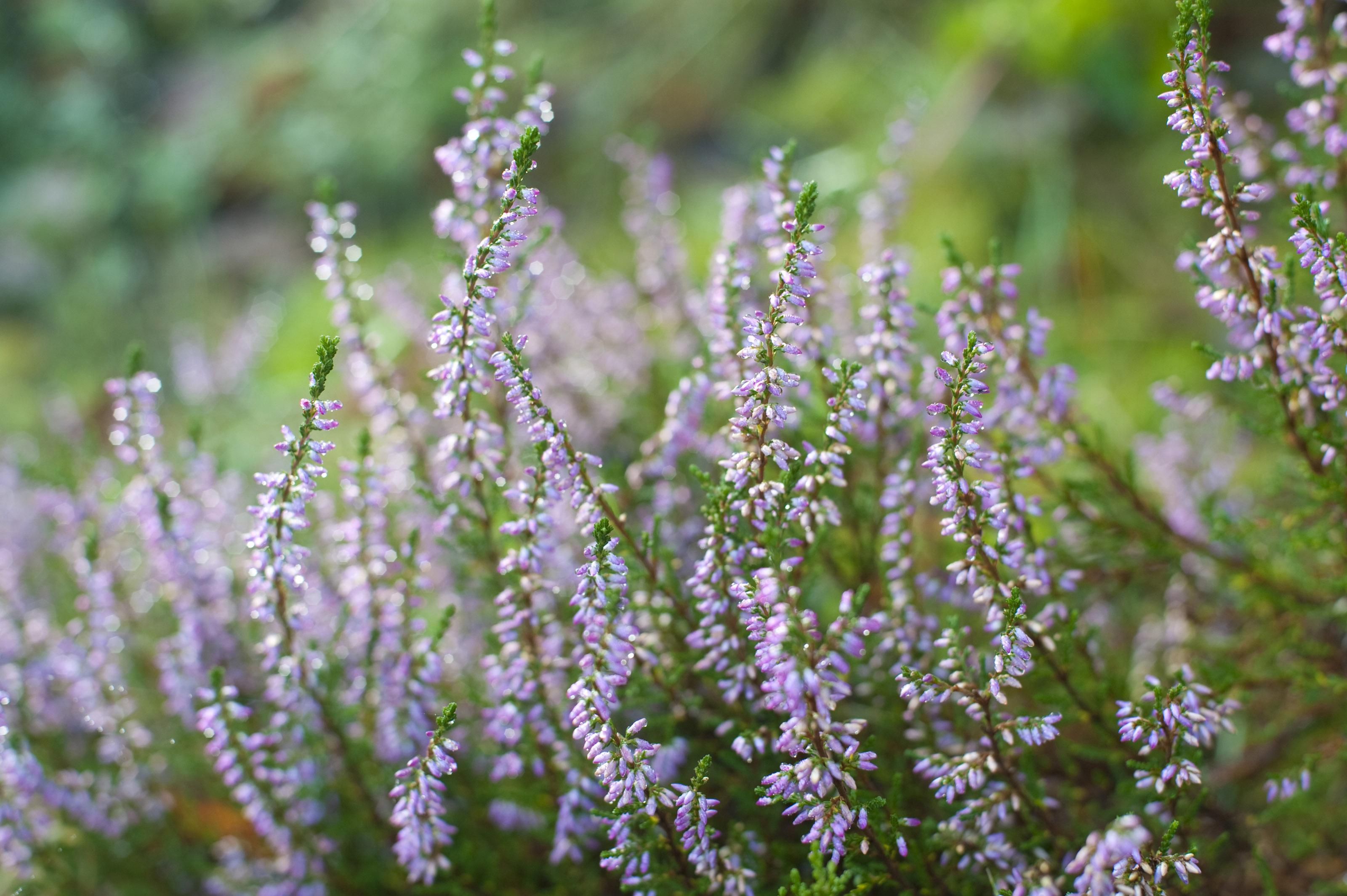 Purple heather flowering 3977