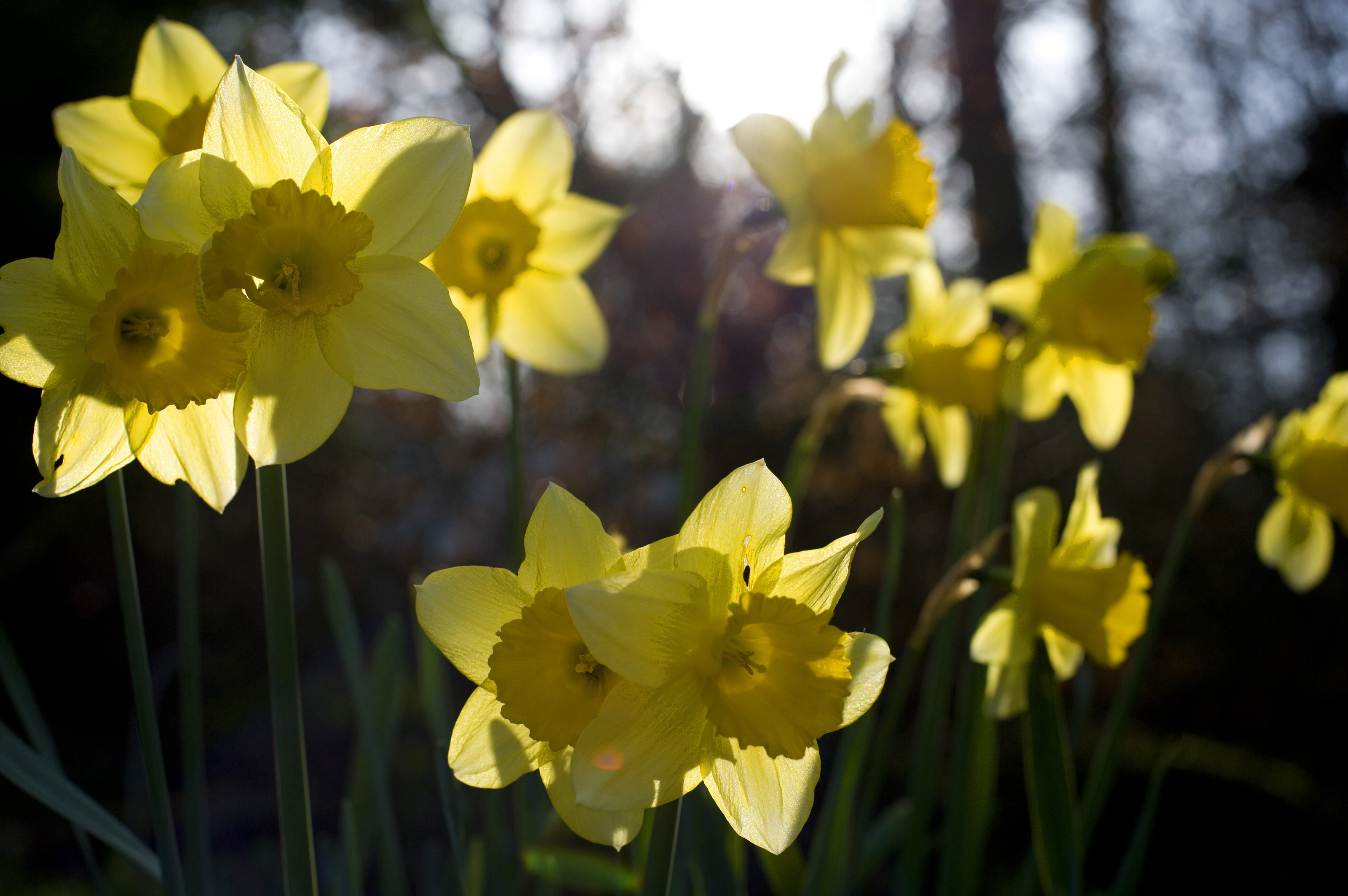 backlit yellow daffodils 4236 stockarch free stock photos