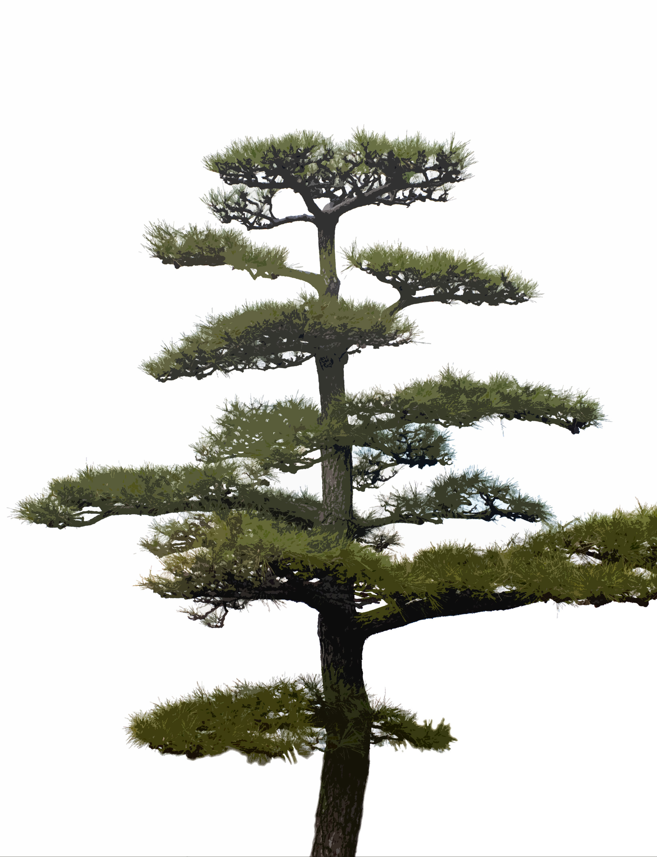 Ornamental evergreen trees - Accept License And Download Image