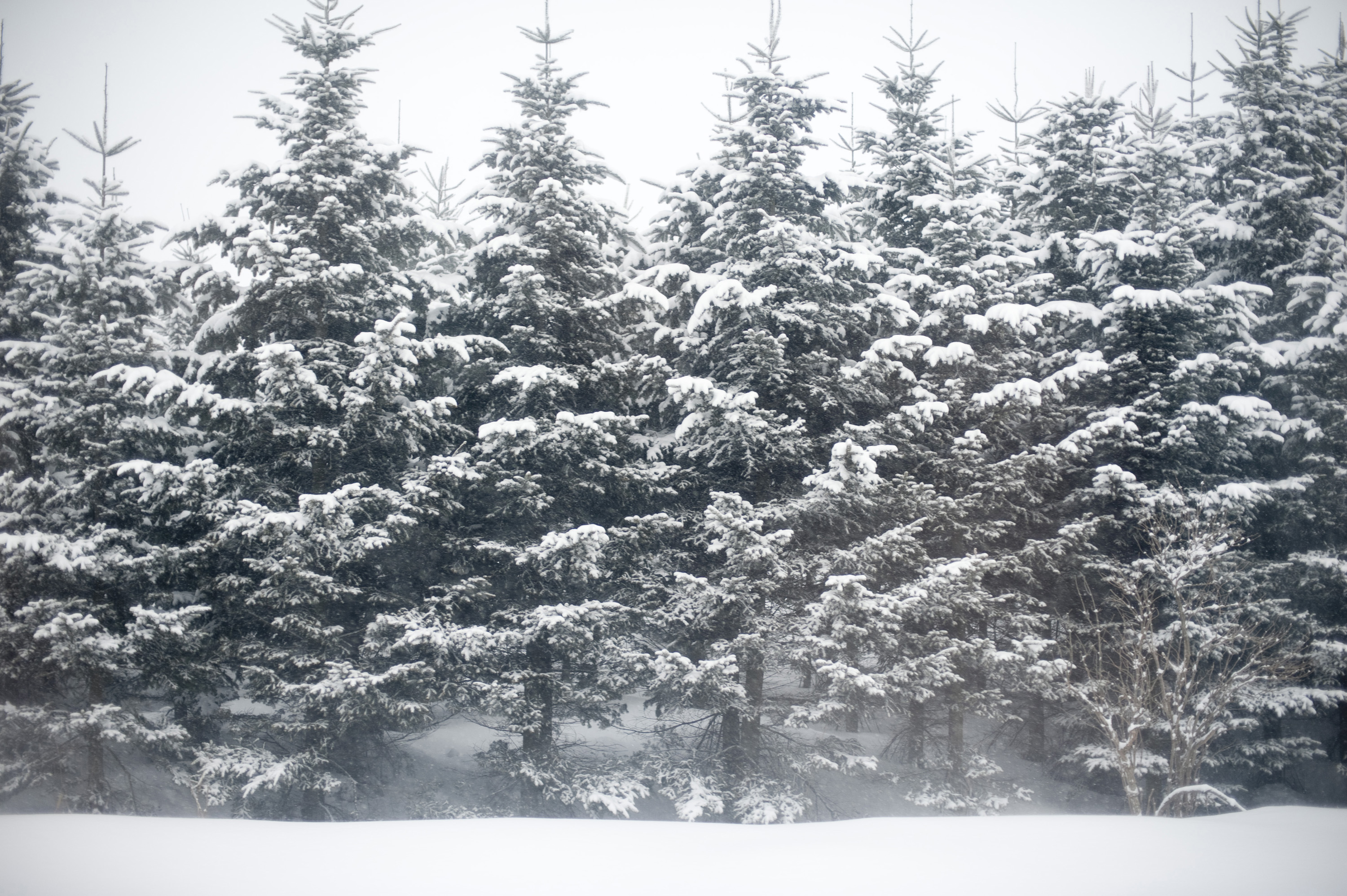 Trees in a winter wonderland 5344 stockarch free stock - Images of pine trees in snow ...