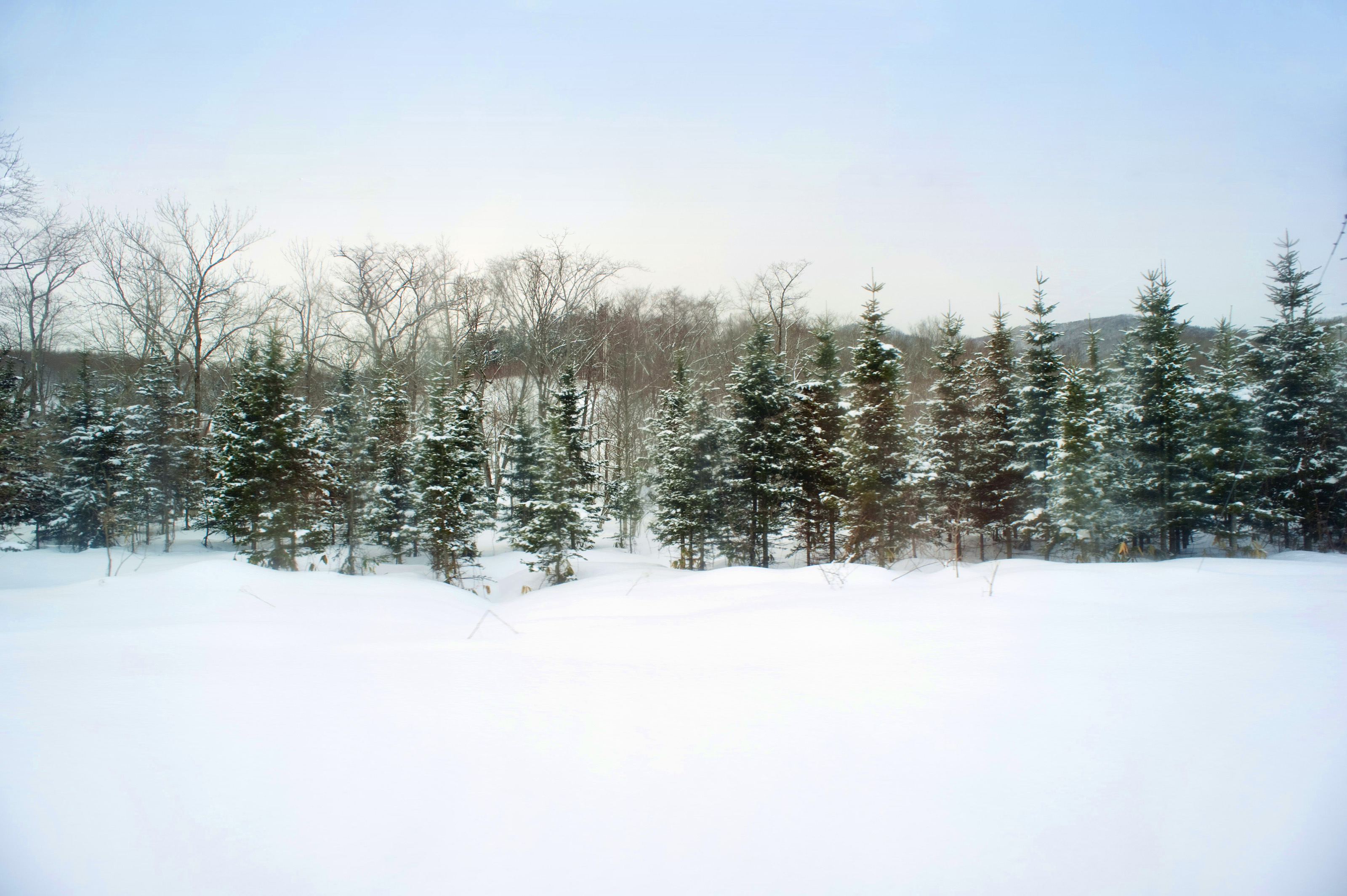 Winter pine trees 5587 stockarch free stock photos - Images of pine trees in snow ...
