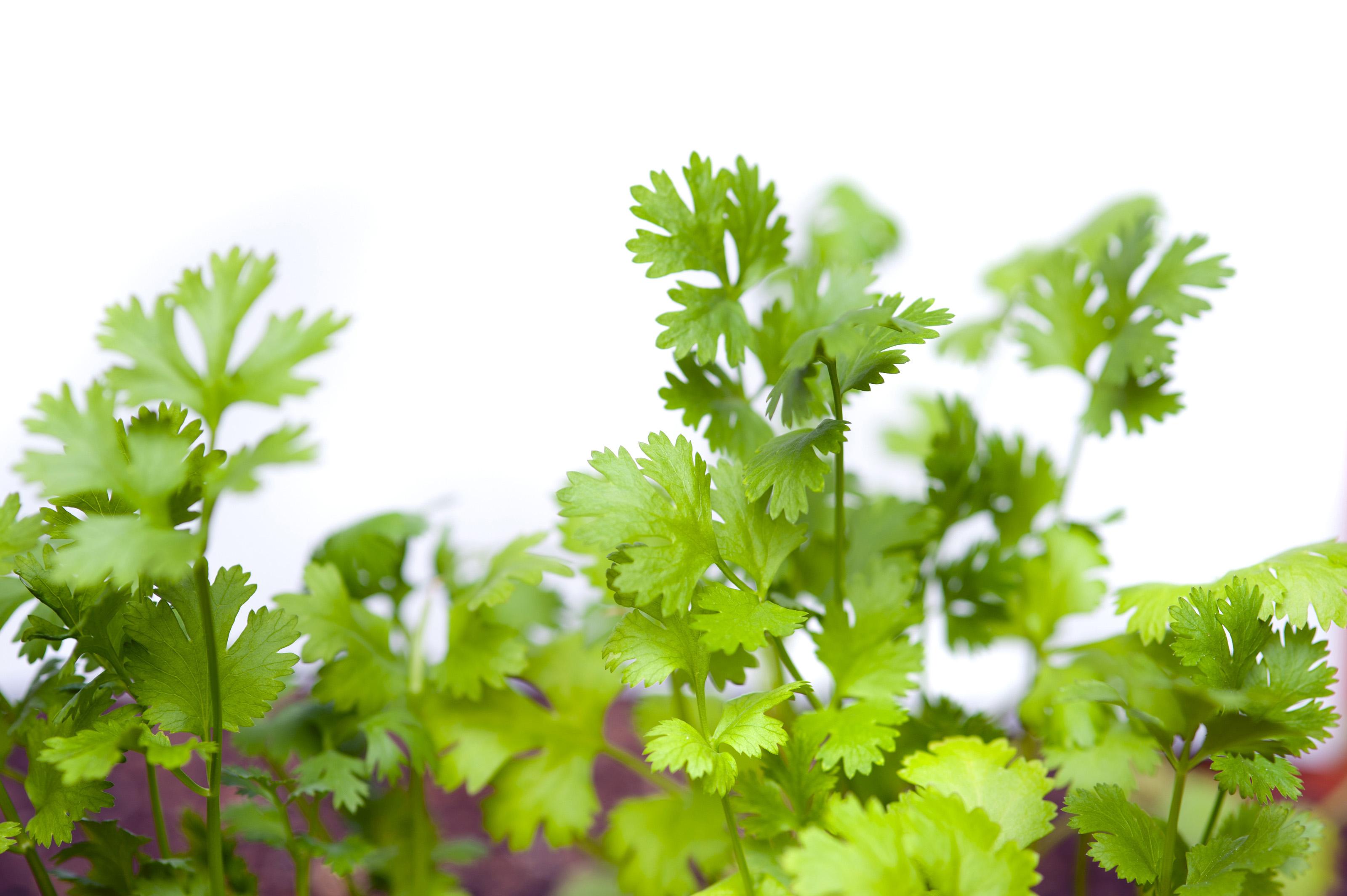 Image result for coriandrum sativum leaf