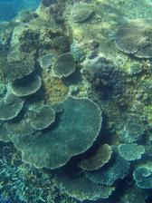 hard corals growing into plate formations