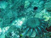 A crown of thorns starfish feeding on corals