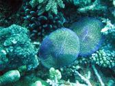 a mushroom coral on australis great barrrier reef