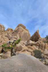 bolders and small joshua trees in the the joshua tree national park
