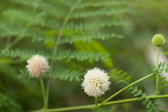 Botanical background of pretty spherical white flowers growing on tropical vegetation with copyspace