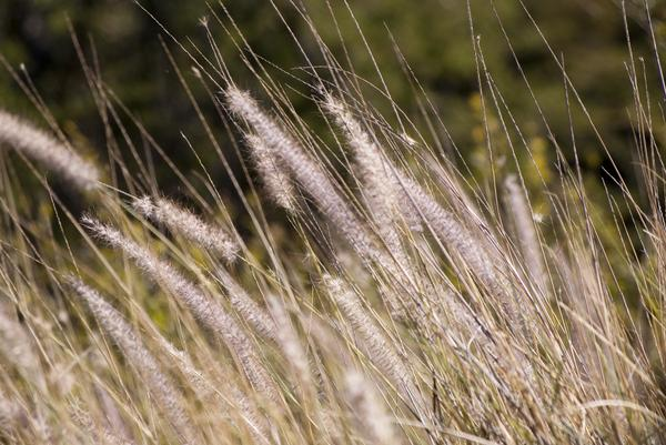 Golden long grass 2647 stockarch free stock photos for Like long grasses