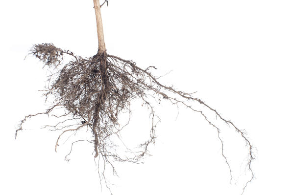 Plant root system of an uprooted plant cleaned of soil to show the structure isolated on a white background