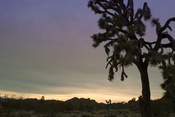 silhouette of a joshua tree in the joshua tree national park, california