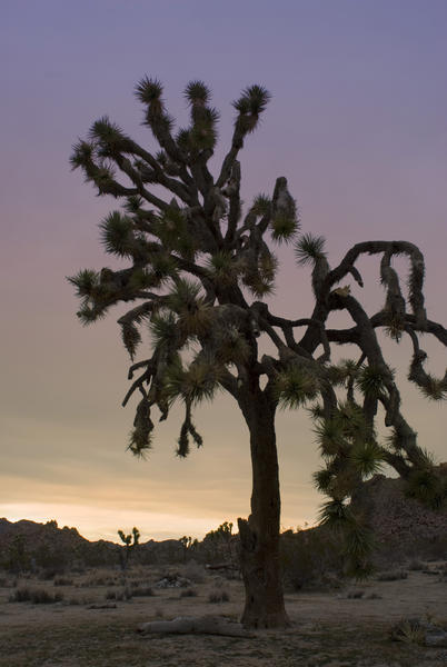 silhouette landscape of joshua tree national park with a colorful sunset gaadient sky