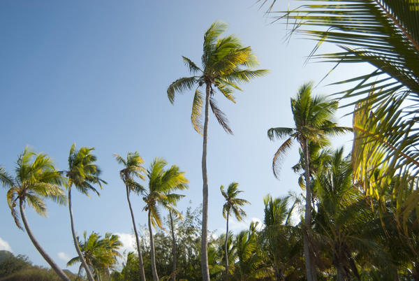 Grove of tall palm trees with their fronds waving in the breeze against blue sky symbolic of a tropical vacation