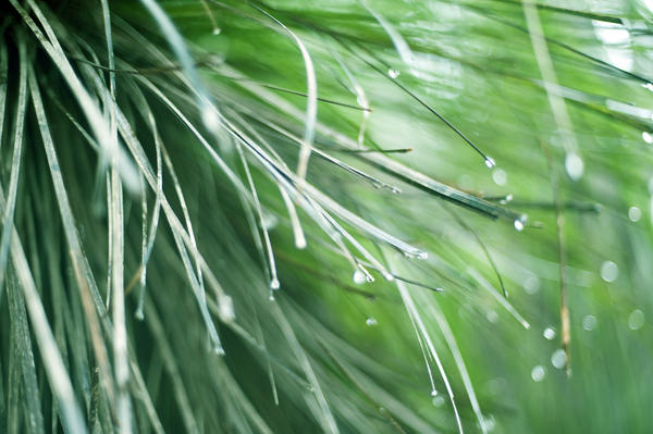 Water droplets suspended on the tips of long curving blades of green grass following a rain shower