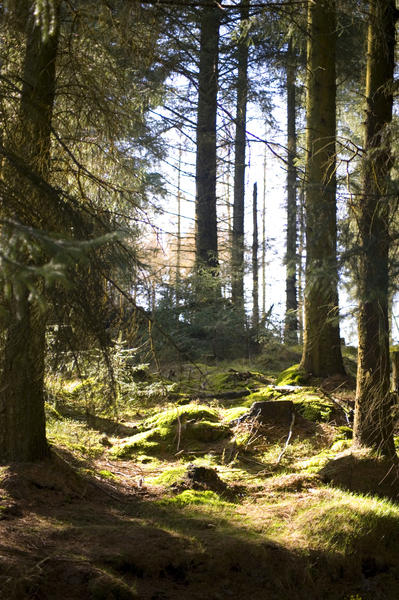 Sunny woodland glade or clearing between tall evergreen trees in a forestry plantation