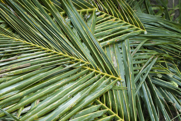 Cut And Harvested Palm Fronds 5980 Stockarch Free Stock