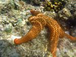 A bright orange coloured sea star