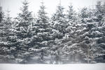 stock image A line of evergreen snowcovered spruce or pine trees in a winter wonderland making a lovely Christmas background