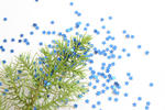 Christmas background of scattered blue stars around a fresh green fir branch on white , overhead view