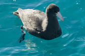 A southern giant petrel in the water of Australias great barrier reef