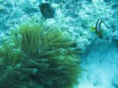 anemonefish swimming amongst a sea anemone on a coral reef