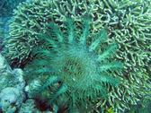 Acanthaster planci - Crown of thorns starfish feeding on coral polyps