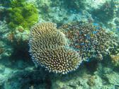 a shoal of tiny blue reef fish hiding in hard corals