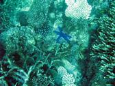 various types of corals and a blue coloured starfish