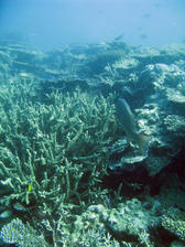a coral bommie featuring staghorn corals an various other types of coral