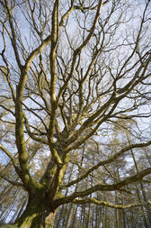Wide angle shot of a tall bare branched leafless deciduous tree in woodland against a blue sky