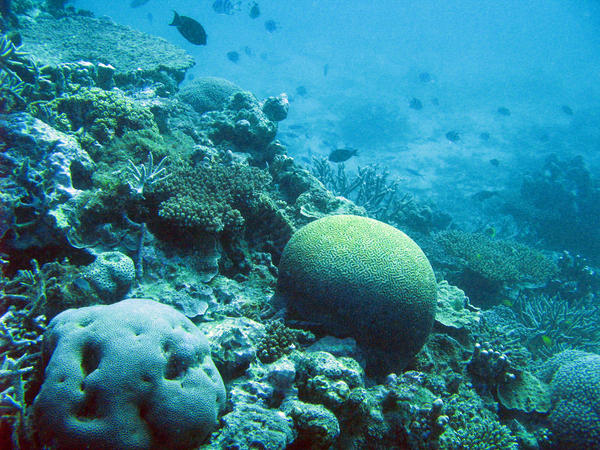 a coral reef with boulder corals and various other types of coral