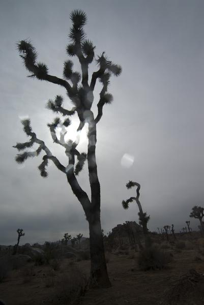 abstract lens effect of rain with the backlit silhouette of a joshua tree