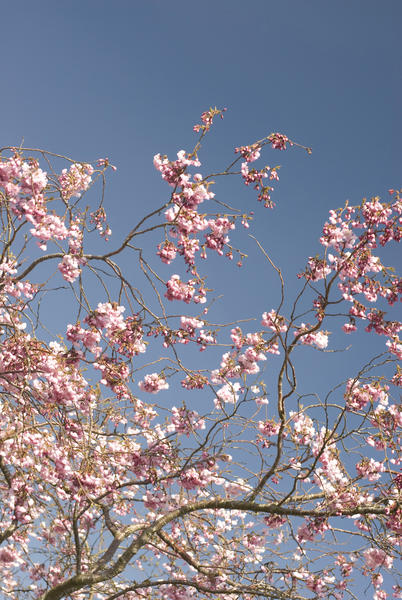 Delicate pink spring cherry blossom against a blue sky, symbolic of the changing seasons