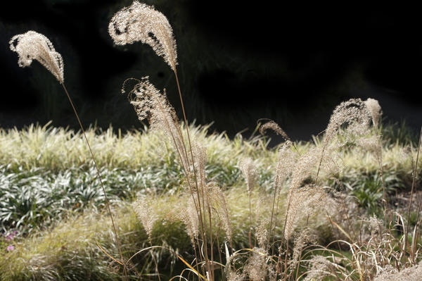 Botanical background of flowering wild grasses with feathery inflorescences in grassland against a dark background
