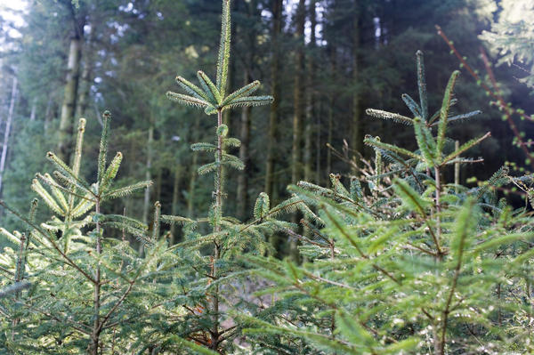 Forestry plantation of evergreen pine trees with young saplings in the foreground providing an important natural resource