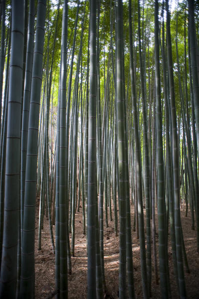 Sunlight Through Dense Stalks of Bamboo with Tall Canopy - Forest Scenic
