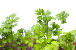 Fresh coriander leaves, or Coriandrum sativum, an aromatic herb used as a garnish and flavouring in cooking